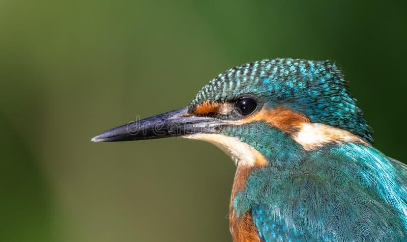 Een Gemeenschappelijke Ijsvogel die het zoeken de maaltijd van ` s eerste stock foto's