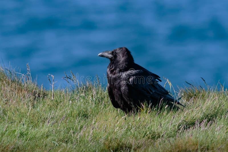 Een Gemeenschappelijke, of Noordelijke Raaf, Corvus corax, lid van de Kraai FA stock foto's