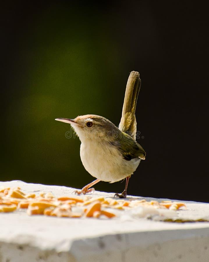 Een gemeenschappelijke tailorbird stock afbeelding