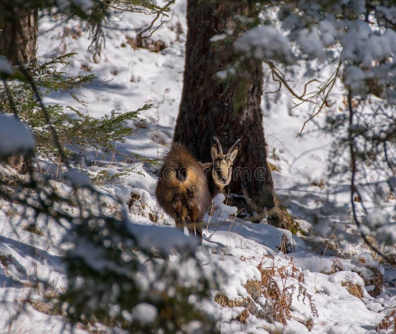 Een gems in de wildernis stock afbeeldingen