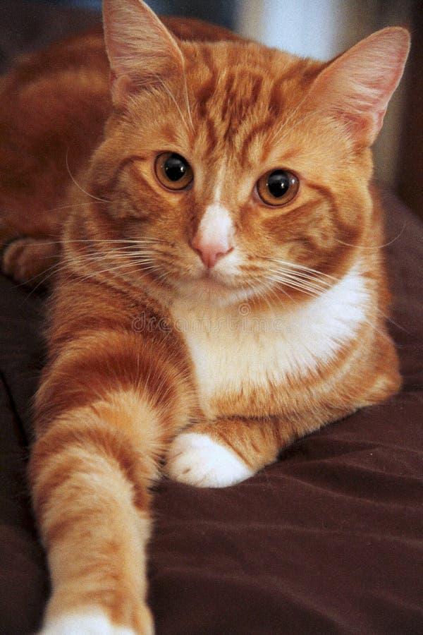 Een gestreepte katkat genoemd Simba royalty-vrije stock fotografie