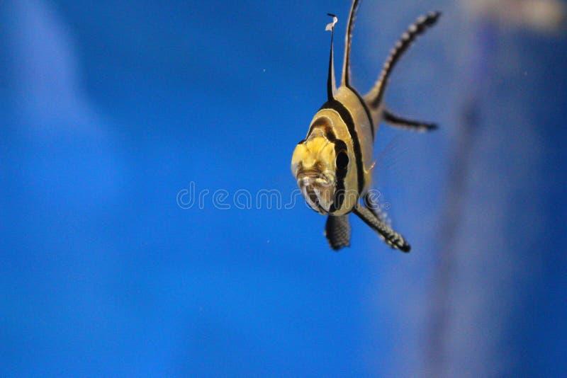 Een Gestreepte vis op een blauwe achtergrond royalty-vrije stock afbeeldingen