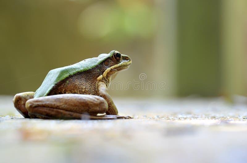 Een geurige Kikker van Largre stock foto