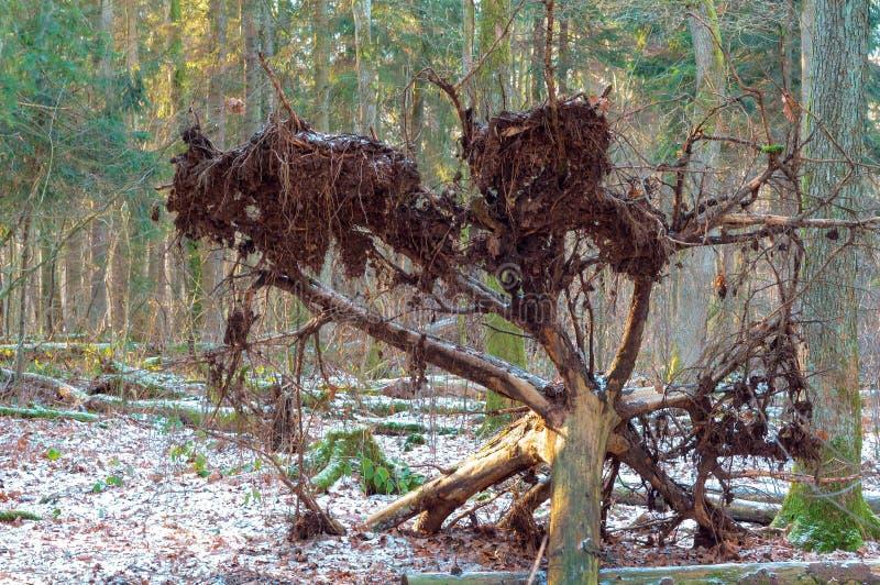 Een gevallen boom in het bos, de wortel van de boom stock afbeeldingen