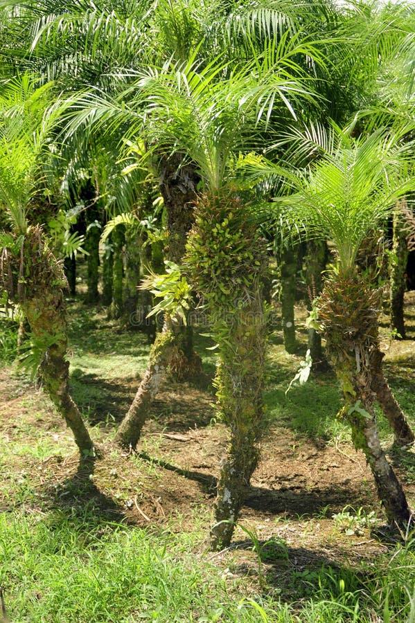 Een gewassenf palm groeit in Grecia, Costa Rica stock foto's