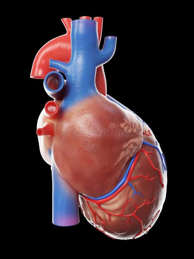 Een gezond menselijk hart royalty-vrije illustratie