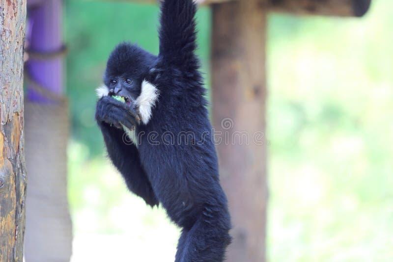 een gibbon eet appel royalty-vrije stock afbeeldingen