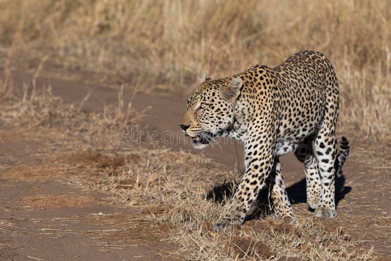 Een gingen de mannelijke luipaardgangen terloops de spelkijker op een recente ochtendpatrouille over royalty-vrije stock foto's