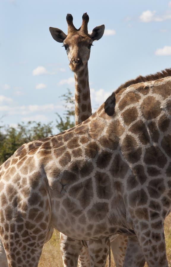 Een giraf (camelopardalis Giraffa) stock fotografie