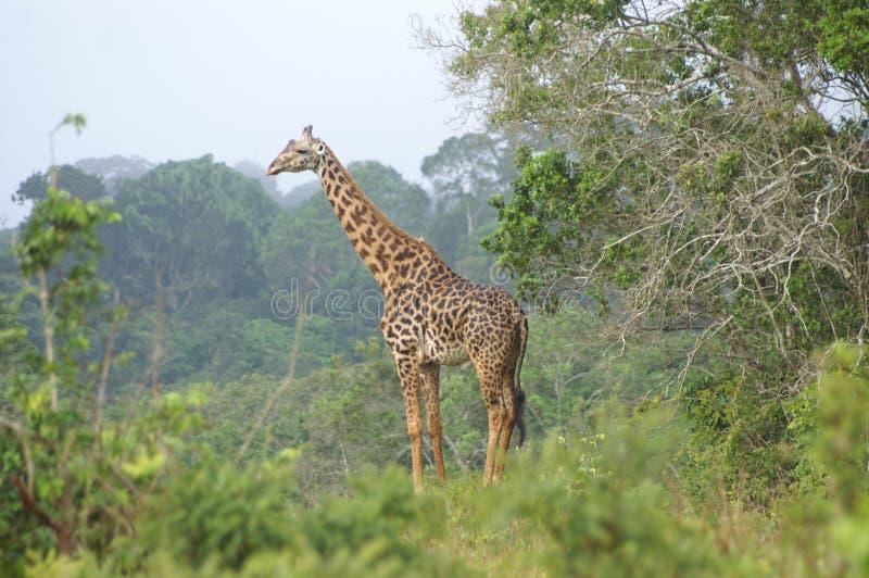 Een giraf die zich in a bevinden forrested gebied stock foto's