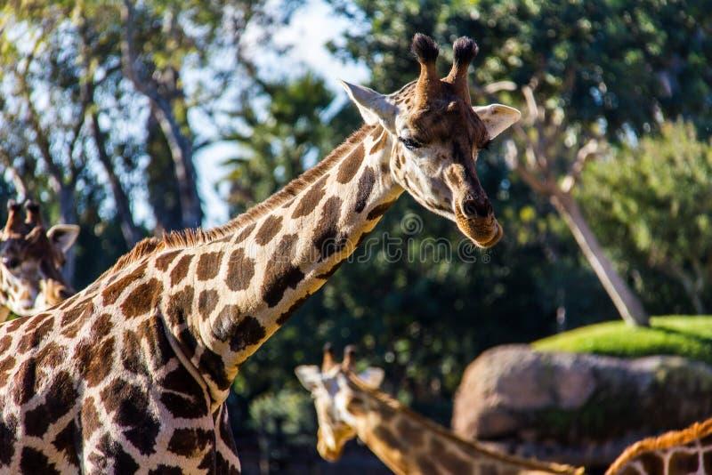 Een giraf, giraffacamelopardalis, in een dierentuin royalty-vrije stock foto