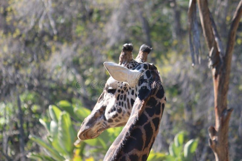 Een Giraf royalty-vrije stock foto