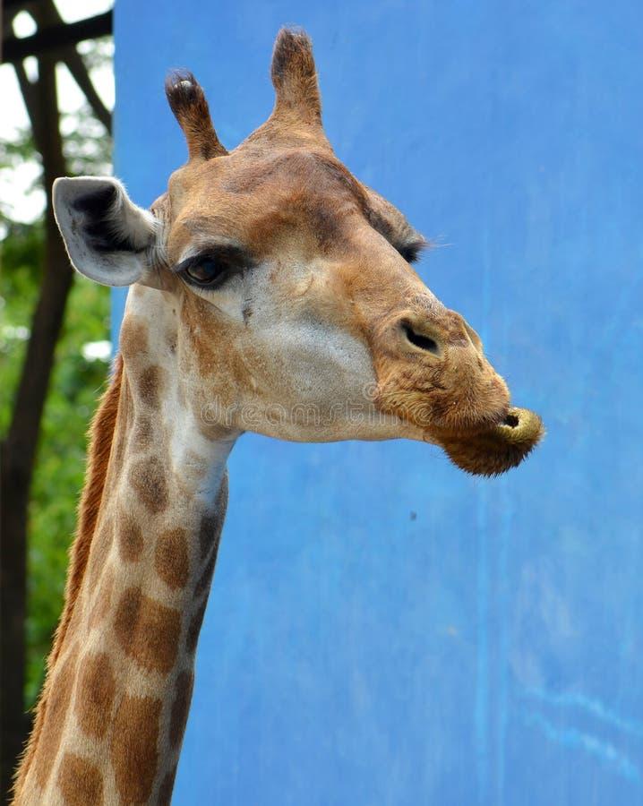Een Giraf het kauwen voedsel in dierentuin royalty-vrije stock afbeeldingen