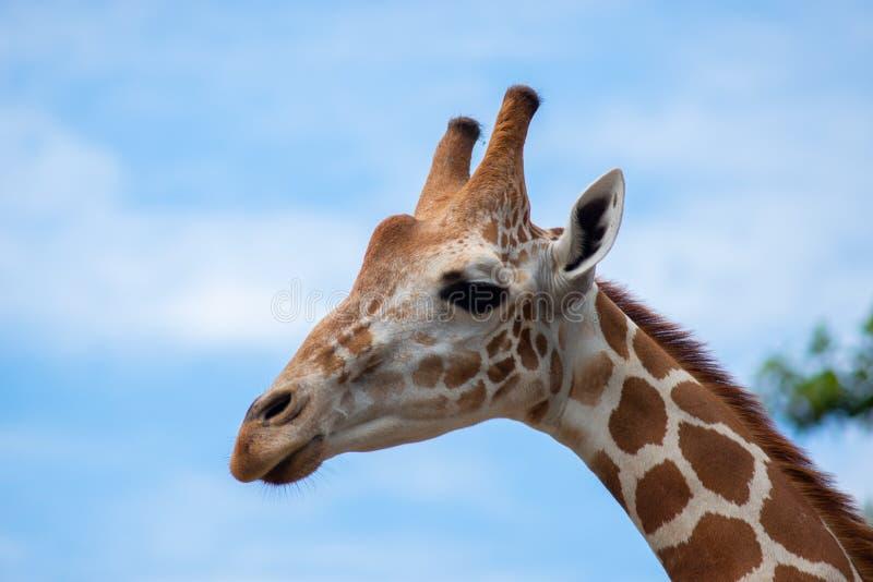 Een giraffe& x27; s de habitat wordt gewoonlijk gevonden in Afrikaanse savannas, weiden of open bossen royalty-vrije stock afbeeldingen