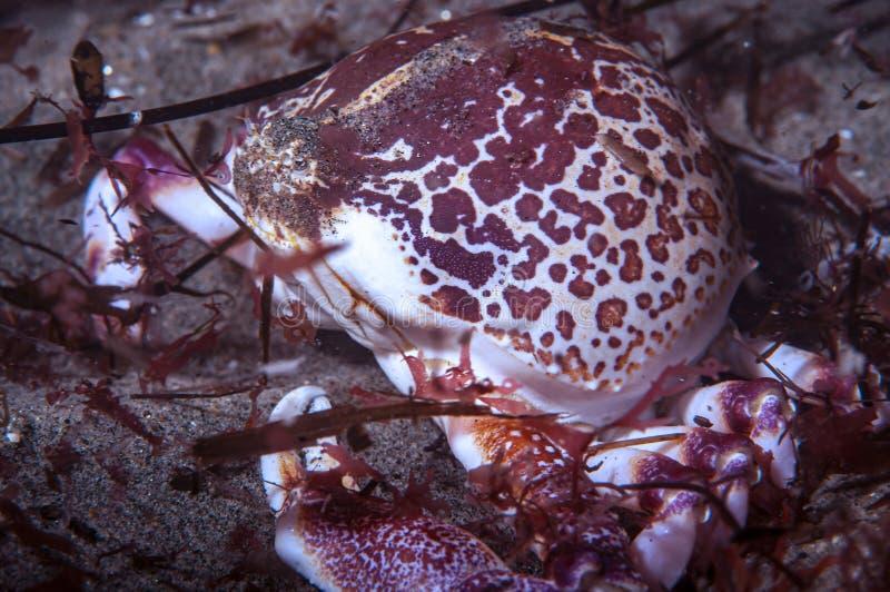 Een Globe Crab royalty-vrije stock afbeeldingen
