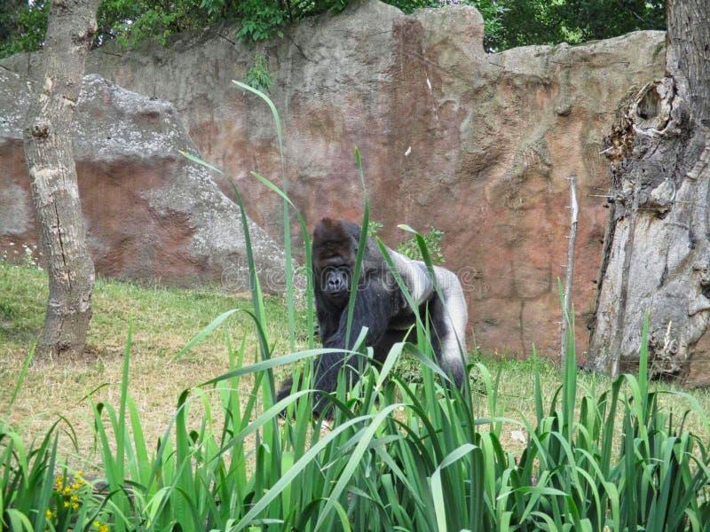 Een gorilla in de dierentuin stock foto's