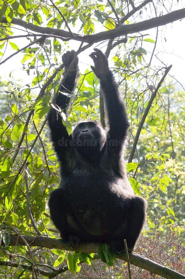 Een gorilla van de babyberg op een boom oeganda Bwindi Ondoordringbaar Forest National Park royalty-vrije stock afbeelding