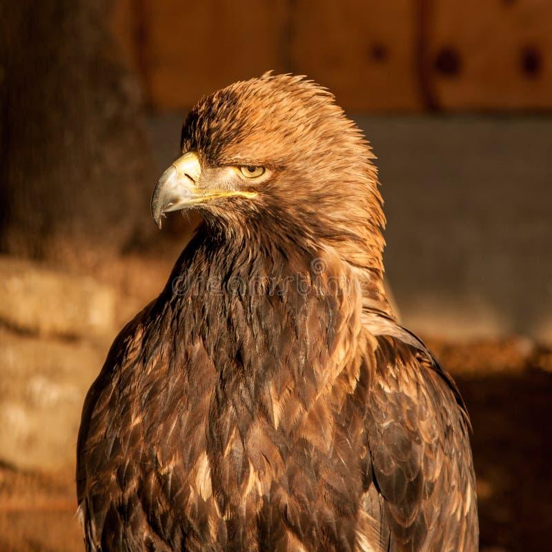 Een gouden adelaar stock afbeelding