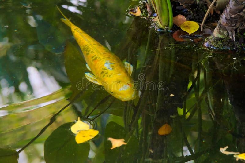 Een gouden gele koikarper die onder de bank van een kleine Thaise koivijver zwemmen royalty-vrije stock afbeeldingen