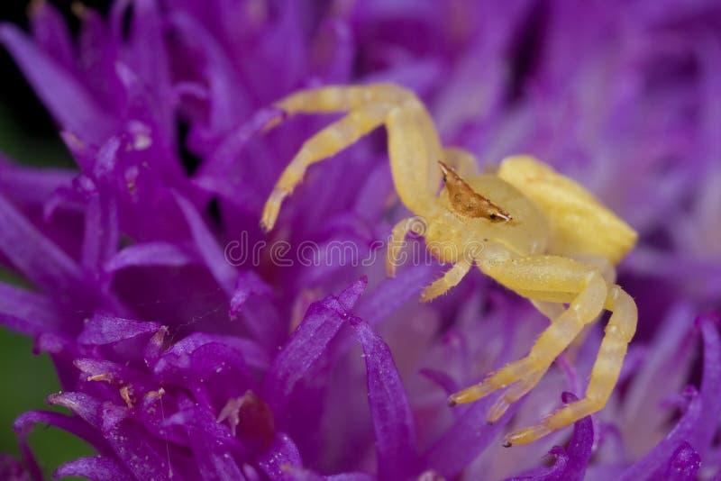Een gouden krabspin op purpere stekelvarkenbloem royalty-vrije stock afbeeldingen
