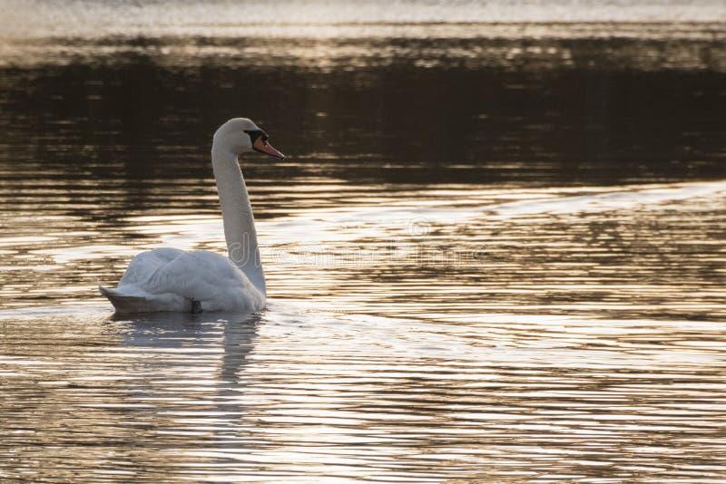 Een Gouden ochtend op de Siervijver, Gemeenschappelijk Southampton royalty-vrije stock afbeeldingen