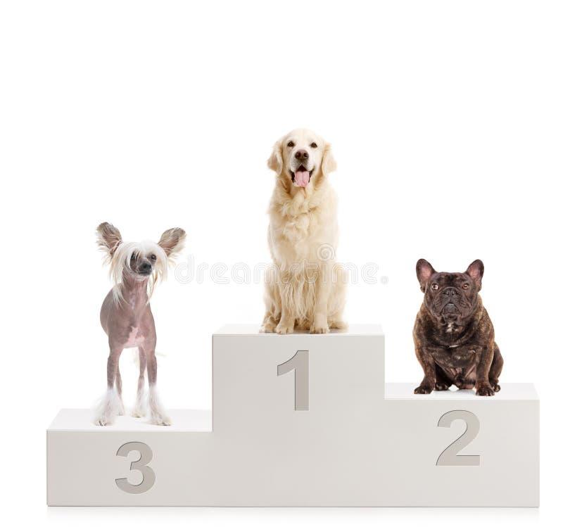 Een gouden retriever, een Chinese kuifhond en een buldog op een winnaar` s podium stock afbeeldingen