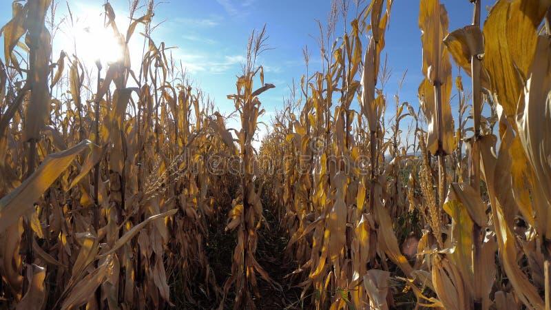Een graanlabyrint of het maïslabyrint zijn een labyrint van een graangebied dat wordt verwijderd stock afbeelding