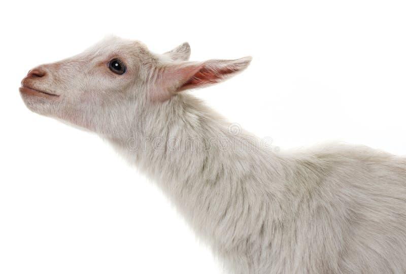 Een grappige witte geit stock fotografie