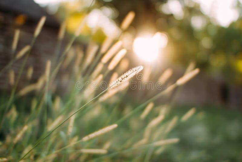 Een grassprietje in de zonsondergang De achtergrond van de herfst Rode en oranje het bladclose-up van de kleurenKlimop stock afbeeldingen