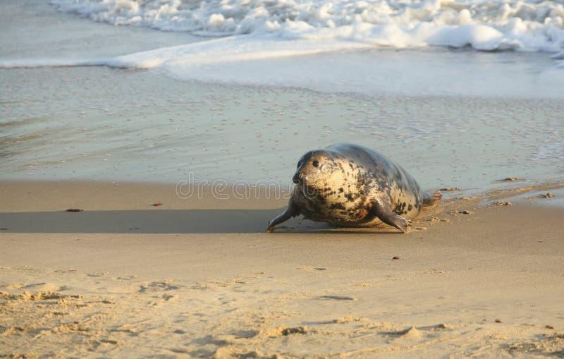 Een Grey Seal Halichoerus-grypus die zich op het strand van het overzees in Horsey, Norfolk, het UK bewegen stock afbeeldingen