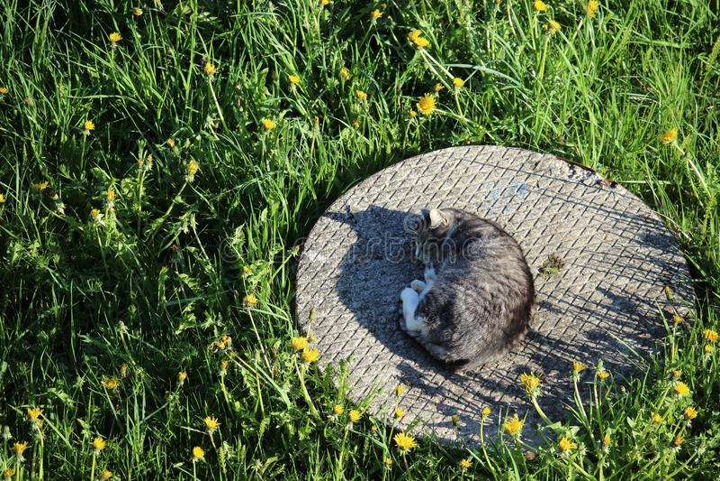 Een grijze dakloze kattenslaap op een putdekking stock foto