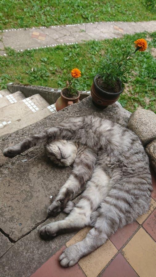 Een grijze de katten luie slaap van gestreepte kat Schotse vouwen met opgeheven poot op de portiek met rotsen en sinaasappel bloe stock fotografie
