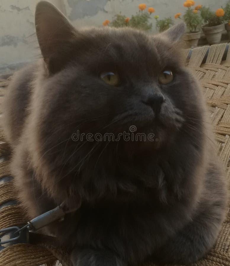 Een grijze dubbele met een laag bedekte kat royalty-vrije stock afbeelding