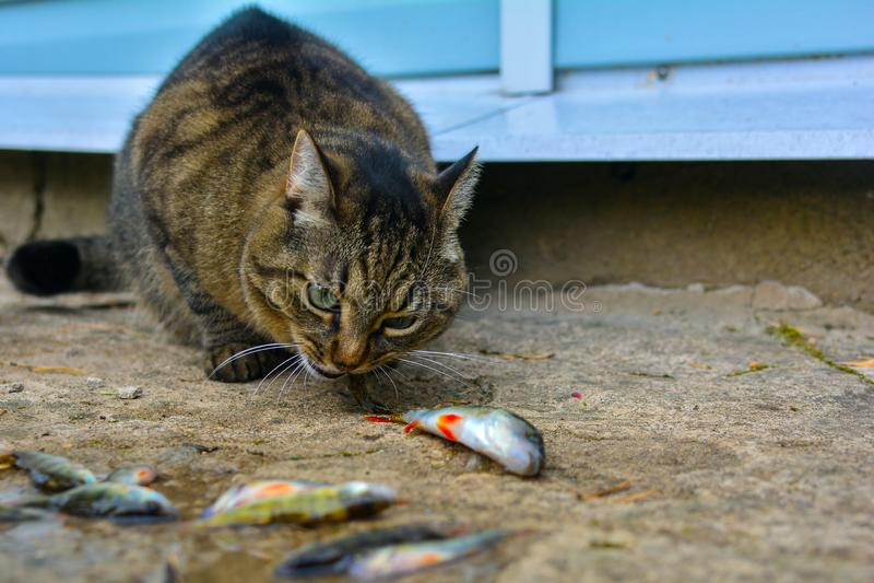 Een grijze, gestreepte katkat eet levende vissen Vangst van vissen Het voeden van een kattena vis stock foto