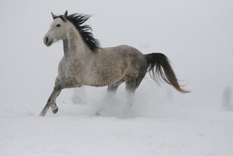 Een grijze hengst in een halter neemt galop de sneeuw in bewolkt weer in de winter door stock foto's