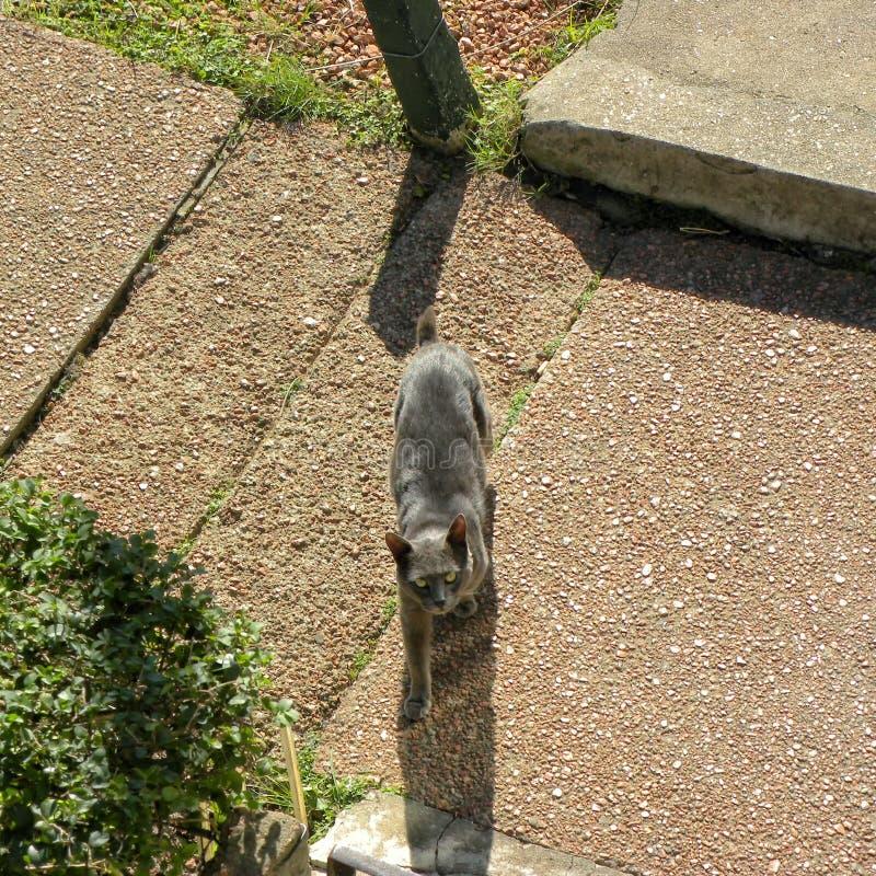 Een grijze kat op vloer en het kijken aan de camera royalty-vrije stock foto