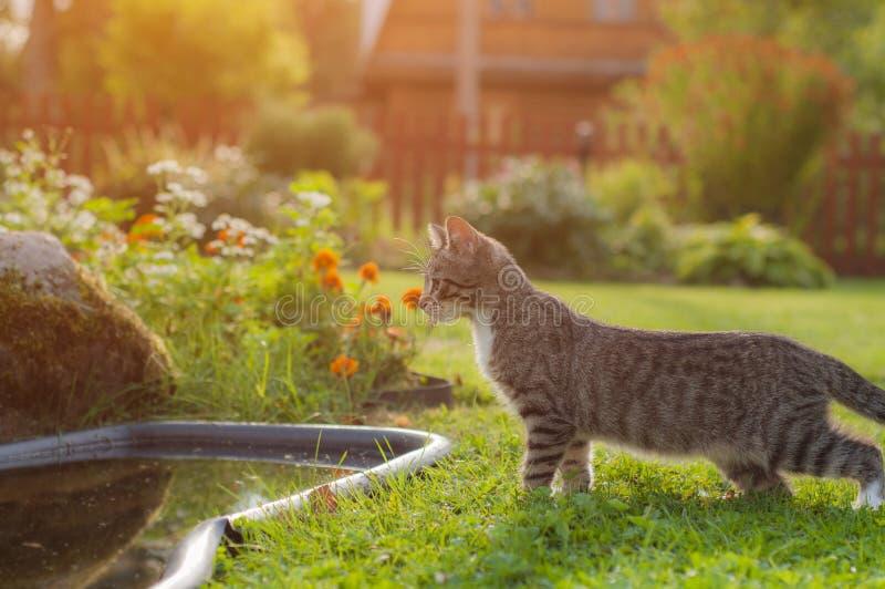 Een grijze kat tuurt in een vijver in de tuin zonlicht royalty-vrije stock afbeelding