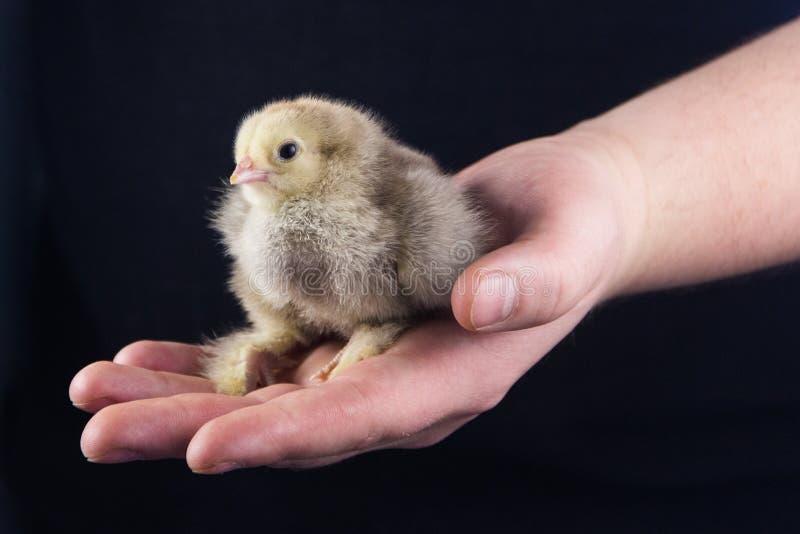 Een grijze pasgeboren kleine kip zit op een mensen` s palm op een zwarte achtergrond stock afbeelding