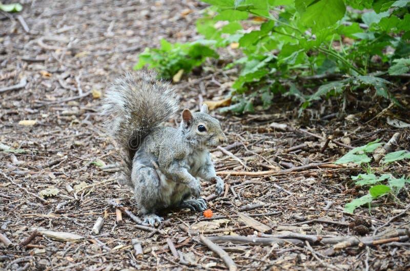 Een grijze vrouwelijke eekhoorn zit op een parkweg stock foto's