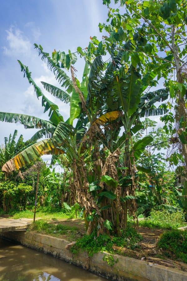 Een groef van banaanboom bloeit in een groene tuin met mooie hemel als foto als achtergrond die in dramagabogor wordt genomen royalty-vrije stock afbeeldingen
