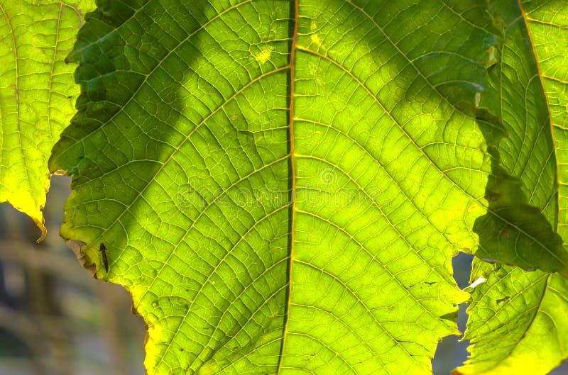Een groen blad macroschot stock afbeeldingen