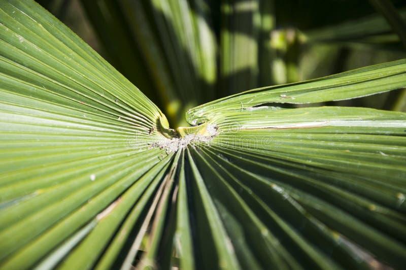 Een groen blad van zaagpalmetto royalty-vrije stock afbeeldingen