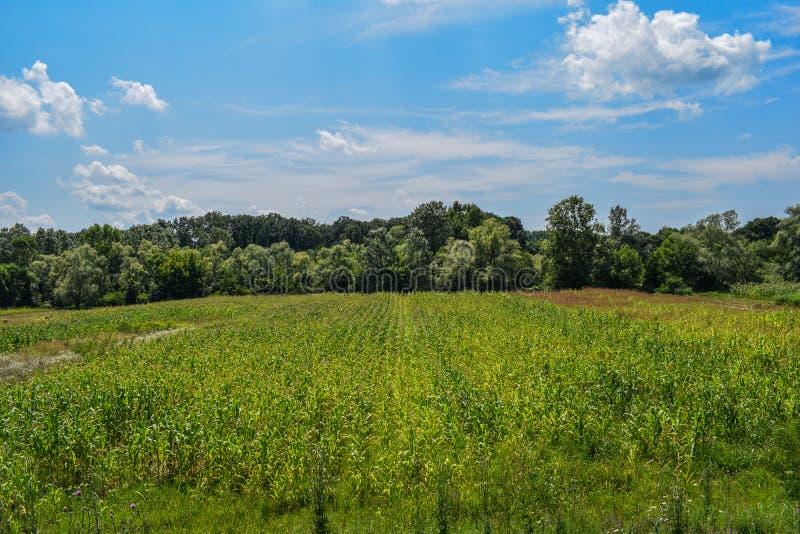 Een groen die gebied, met graan, op een Juli-dag wordt behandeld Een mooie de zomerdag met een zeer blauwe hemel en vele witte en royalty-vrije stock fotografie