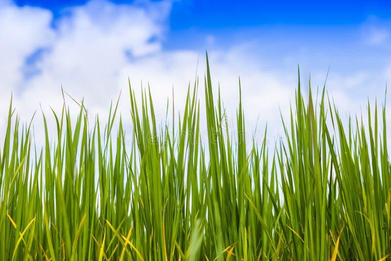 Een groen padieveld van installatie in landbouwbedrijf onder blauwe hemel royalty-vrije stock fotografie