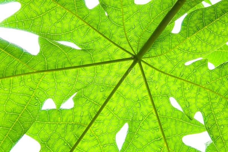 Een groen papajablad op witte achtergrond stock afbeelding