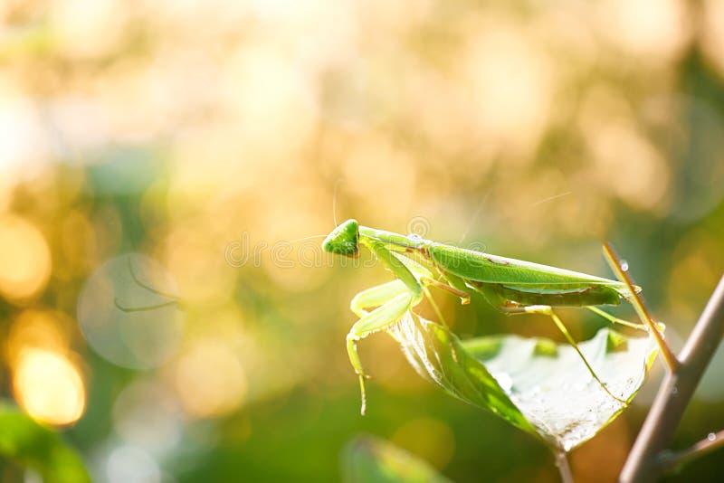 Een groene bidsprinkhaan met gloedachtergrond