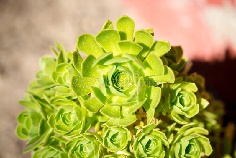 Een groene bloem of een installatie als nam toe royalty-vrije stock foto's