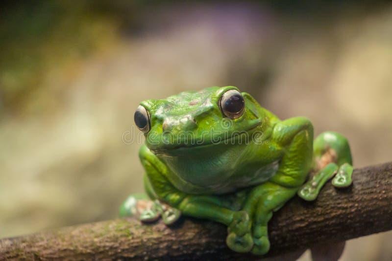 Een groene kikker op een takclose-up stock afbeeldingen
