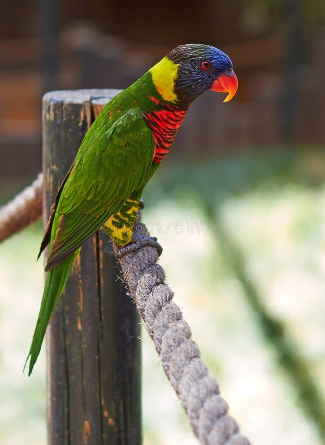 Een groene papegaai met een rode bek zit op een kabel stock foto's