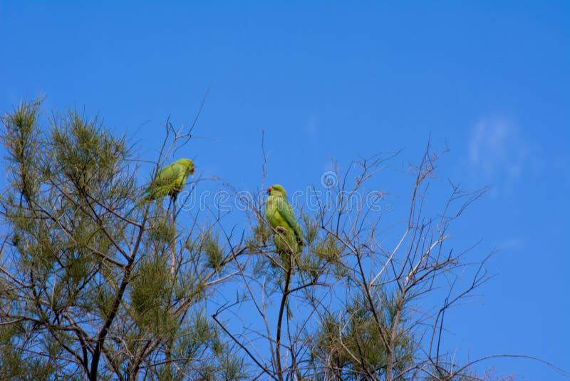 Een groene papegaaivogel De vogel van tropische regenwoud grote groene papegaai met oranje bek voedt andere Dichte mening van een royalty-vrije stock foto's